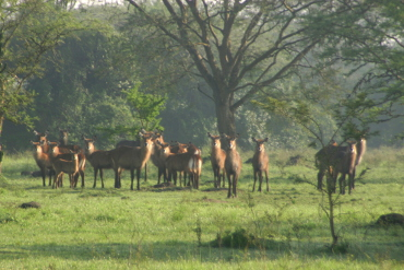 Water buck in the mist in Katonga Nature Reserve Uganda