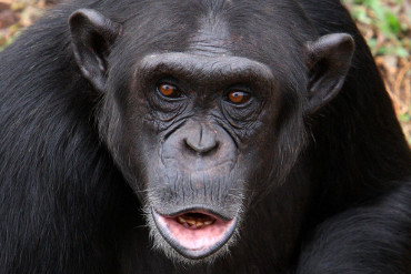 Chimpanzee tracked in Kibale forest National Park Uganda