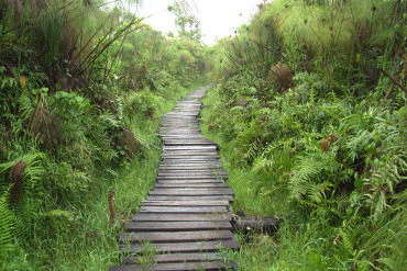 boardwalk through wetland at Bigodi swamp walk