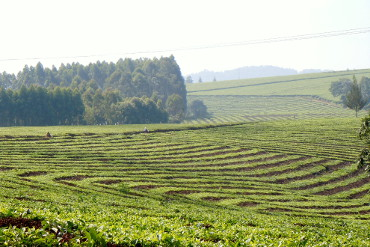 view on tea fields around Fort Portal